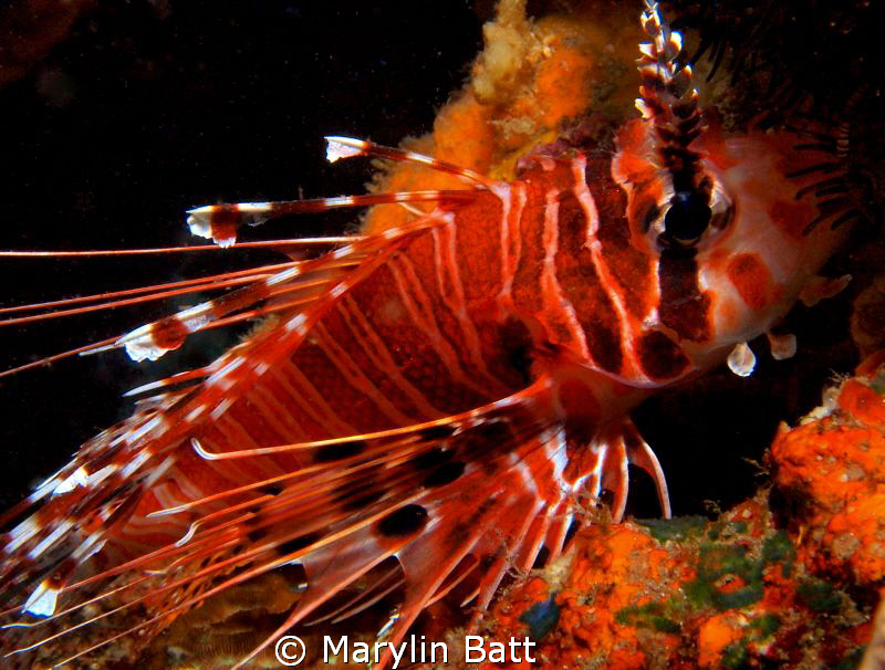 Very small Lion Fish Noy shy at all. by Marylin Batt