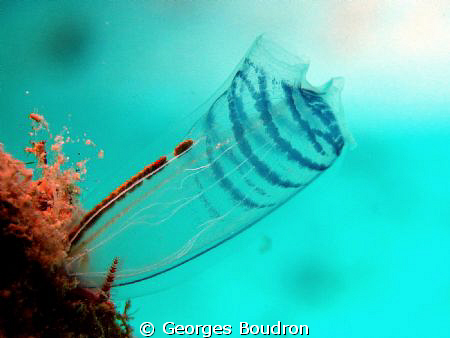 tunicate by Georges Boudron