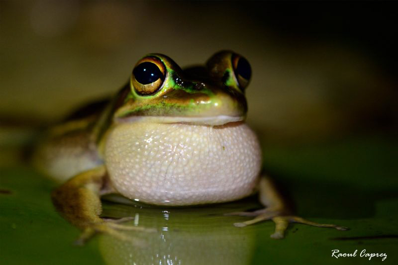 A noisy frog ... for my pleasure ! by Raoul Caprez