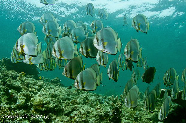 Schooling Bat fish at Sipidan Island by Graeme Cole