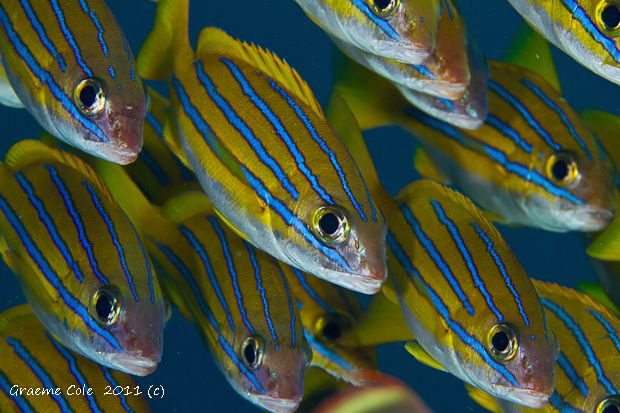Schooling stripes. by Graeme Cole