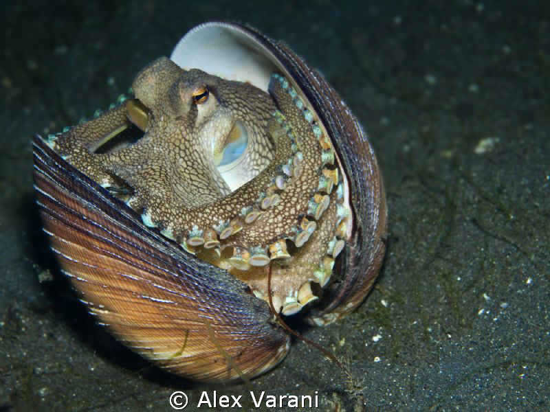 Amphioctopus marginatus (coconut octopus) by Alex Varani 
