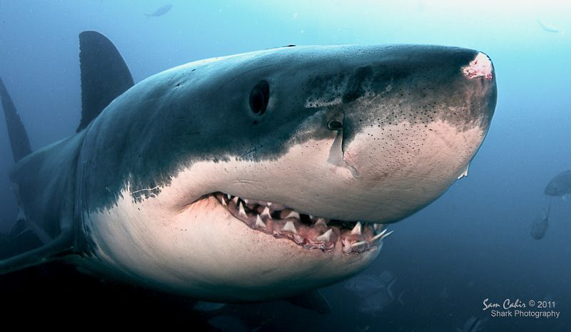 Meet Bruce, the smiling 5m male great white.  Bruce was o... by Sam Cahir