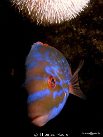 Male Cuckoo Wrasse with an Urchin overhead.  Shot with ... by Thomas Moore