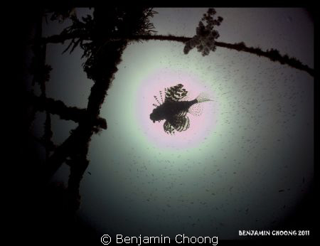 Silhouette of a lionfish gliding at the center of the sun... by Benjamin Choong