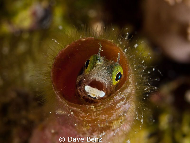 Little blenny in the deep of the caribbean ocean. by Dave Benz