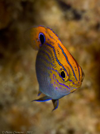 A lovely damselfish in Puerto Galera by Pietro Cremone