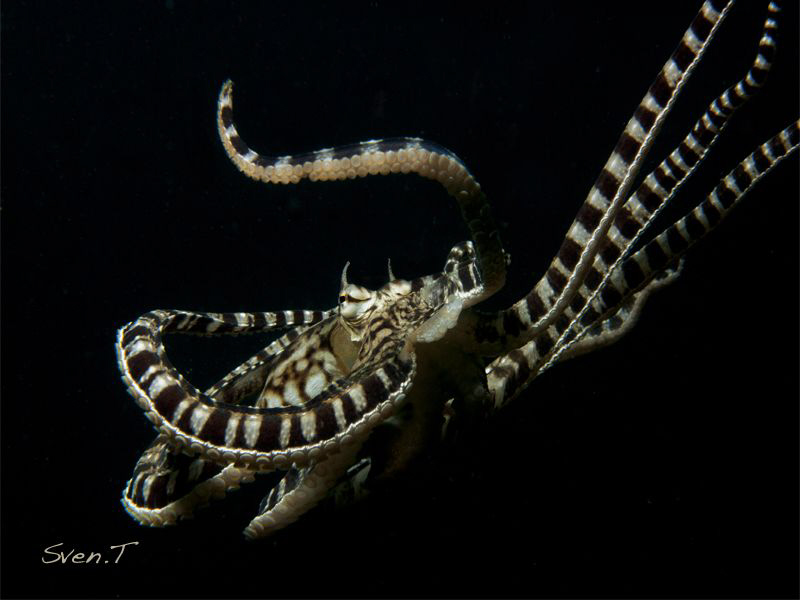 Mimic octopus by Sven Tramaux