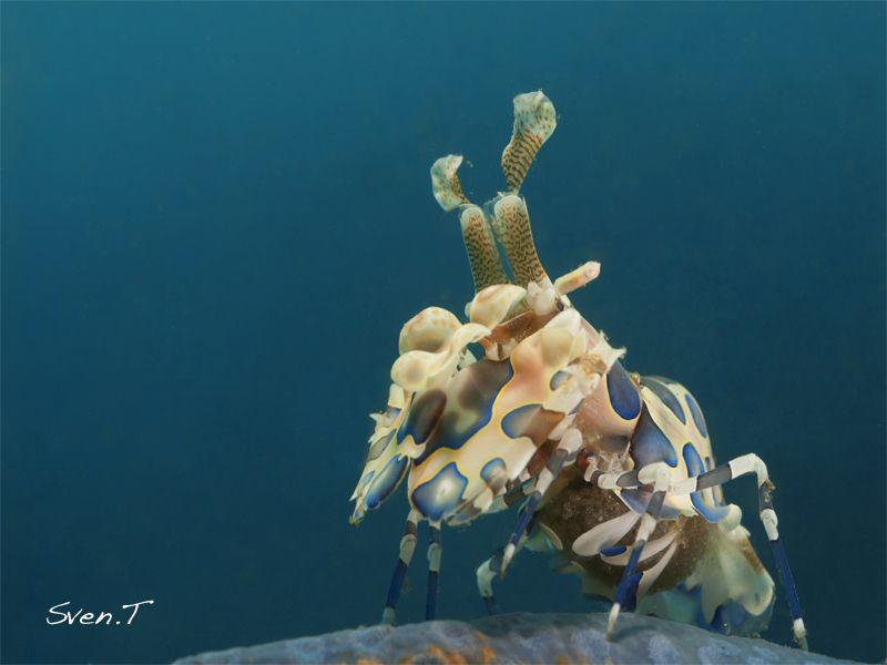 Arlequin shrimp by Sven Tramaux