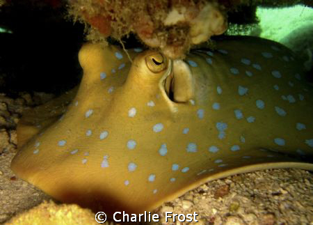 Blue spotted Stingray by Charlie Frost