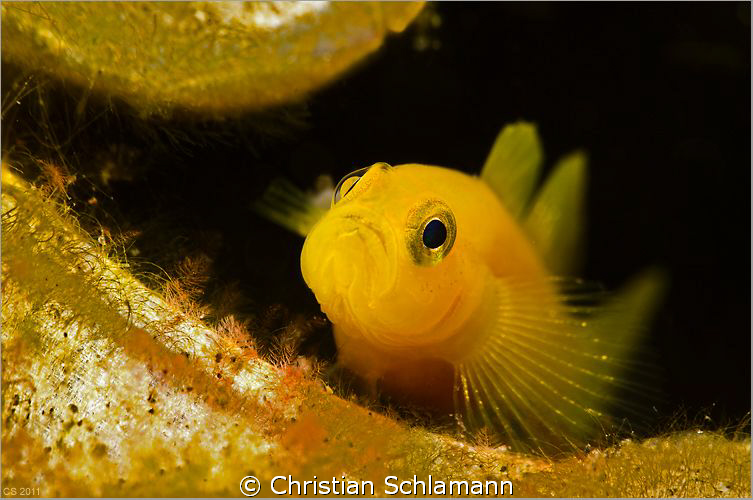 my can is my castle - small goby in an old beer can by Christian Schlamann