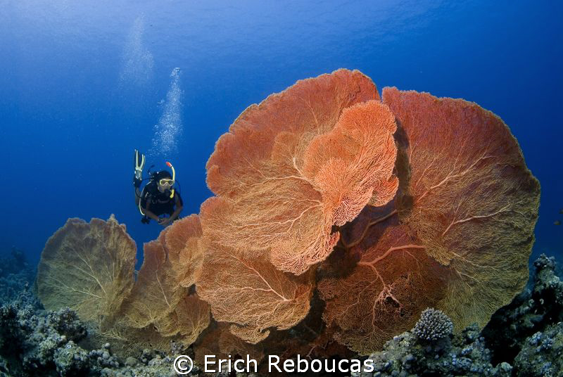 Great fans of the Red Sea by Erich Reboucas
