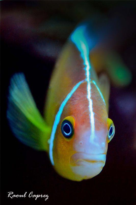 A curious clown fish by Raoul Caprez