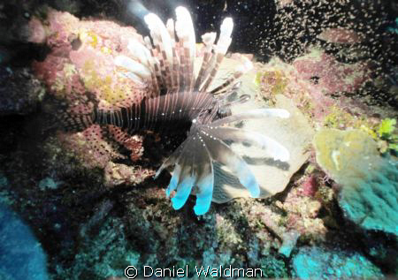 Lionfish picture taken in little cave at Ambergris Caye B... by Daniel Waldman