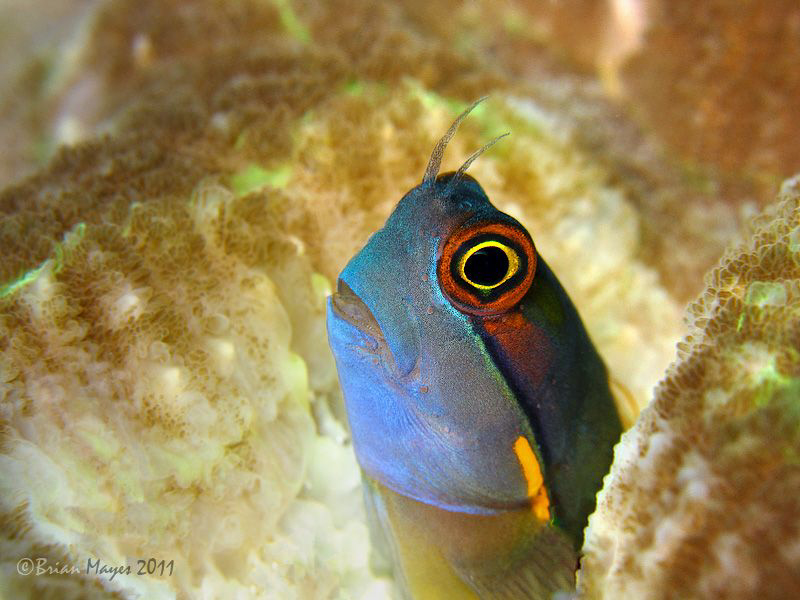 "Eyespot Blenny (Ecsenius ops) at ""Black Forest"", Wofoh, W... by Brian Mayes"