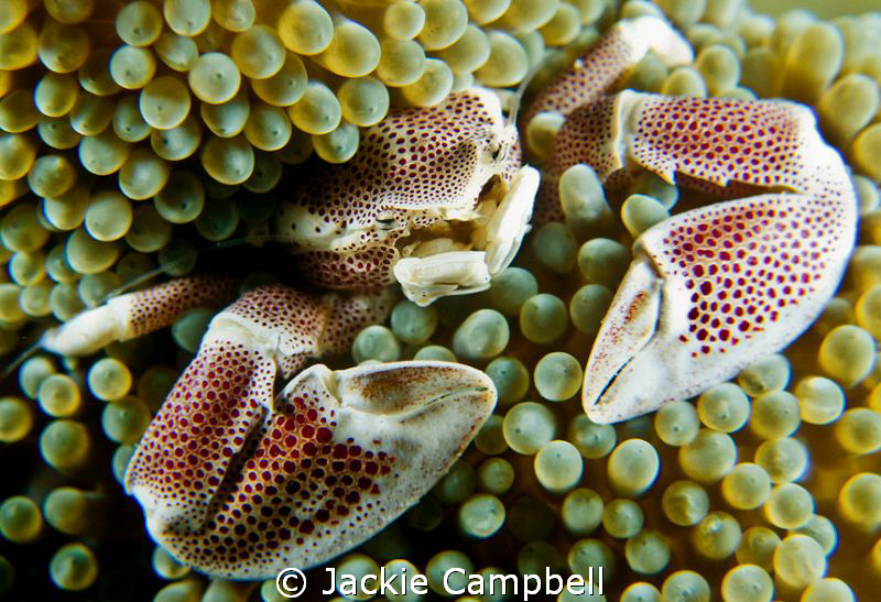 Fairly chilled out anenome crab Canon S90, with inon ad ... by Jackie Campbell