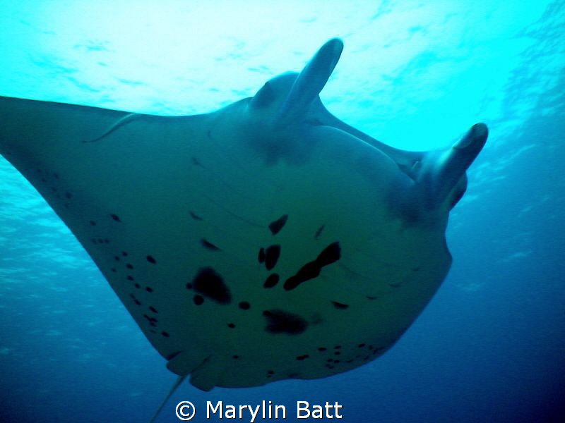 Manta soaring over Tubbataha Reef by Marylin Batt