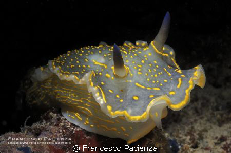 Hypselodoris picta. Taken with Nikon D90 with Nikkor 60mm... by Francesco Pacienza
