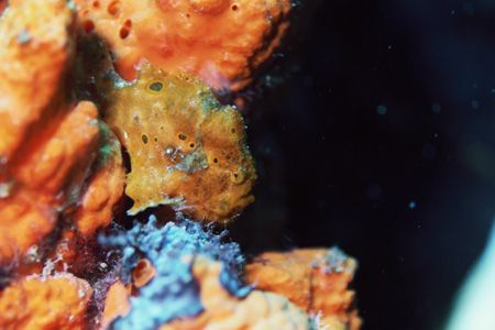 Frogfish on elephant sponge. He was slowly walking. If yo... by Jacques Miller
