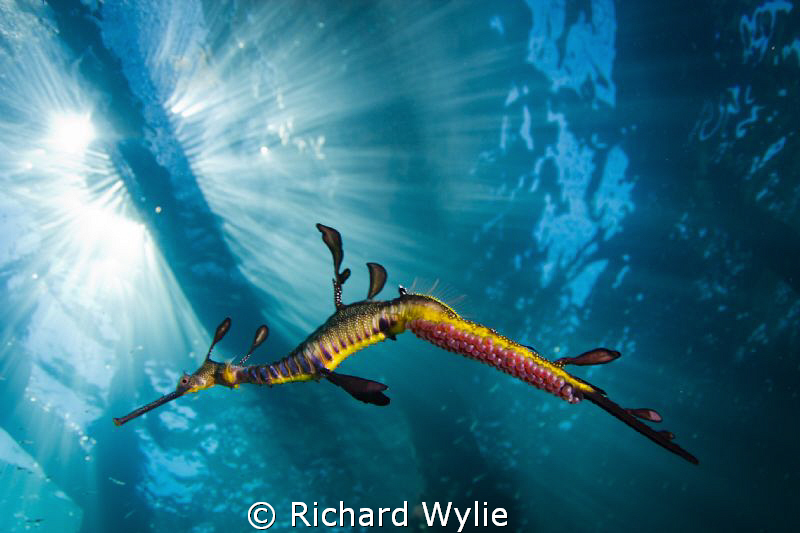 Weedy seadragon with eggs. ISO 100, 1/200 sec, Tokina 17m... by Richard Wylie