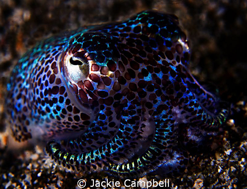 3 inch bobtail squid. So cute and very shy.