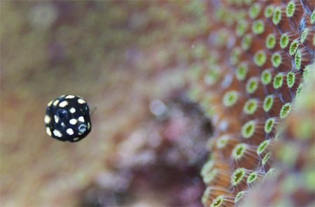Juvenile Smooth Trunkfish. Bonaire. by Jacques Miller