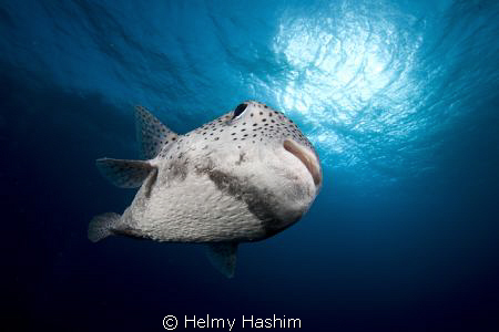 pufferfish..! by Helmy Hashim