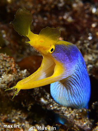 Ribbon moray / Nikon D7000+150mm by Max Lin
