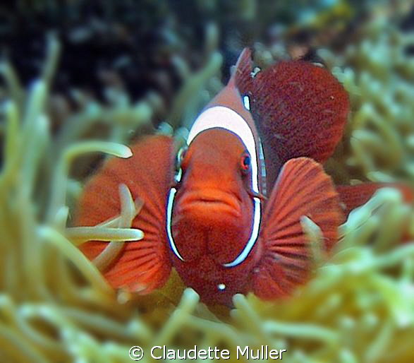 """""""Clown Fish"""" in anenome in Lembah Strait. by Claudette Muller"""