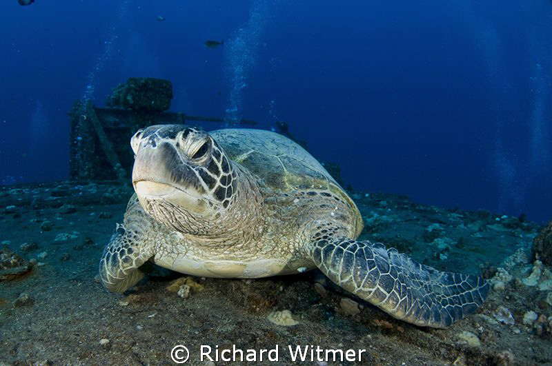Turtle resting on the deck of a wreck off Oahu.  Nikon D3... by Richard Witmer