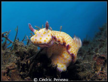nudi Ribescia pulchella by Cedric Peneau