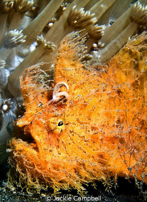 Hairy Orange