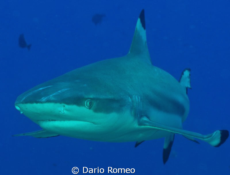 Shark- Black Tip , this kind of shark follow the divers d... by Dario Romeo