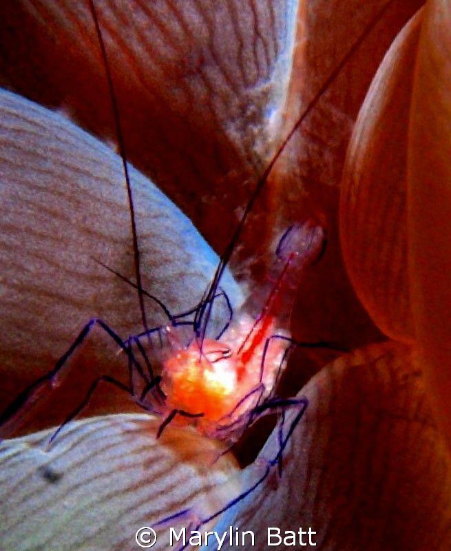 tiny bubble anemone shrimp by Marylin Batt