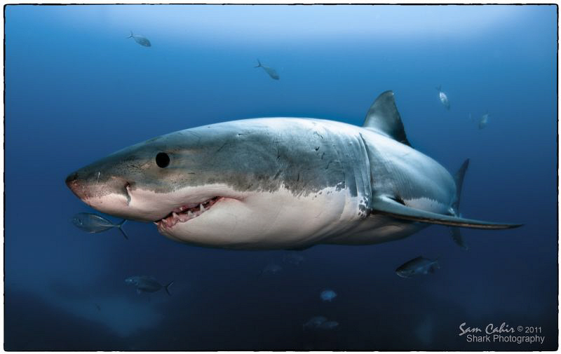 'White Tip' the 4.5m male Great White.  Taken during a sc... by Sam Cahir