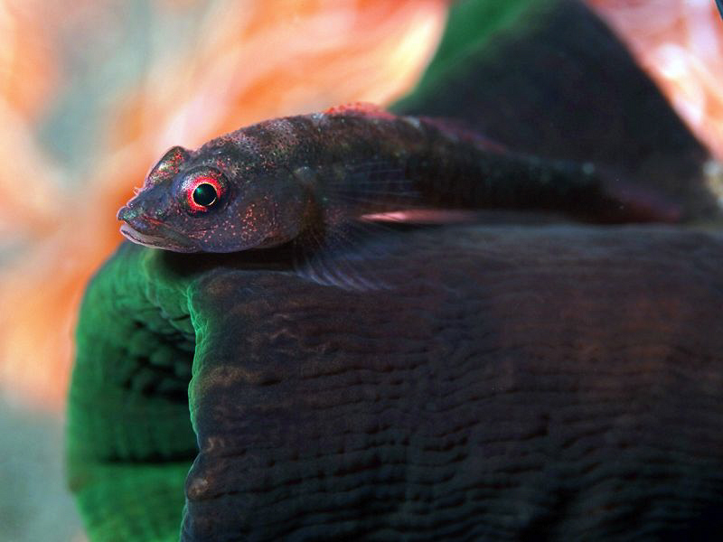 Goby on coral, Tulamben. by Doug Anderson