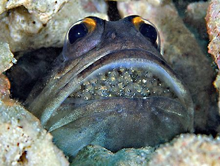 Yellowbarred Jawfish with eggs. Taken in Kapalai. by Beverly Speed