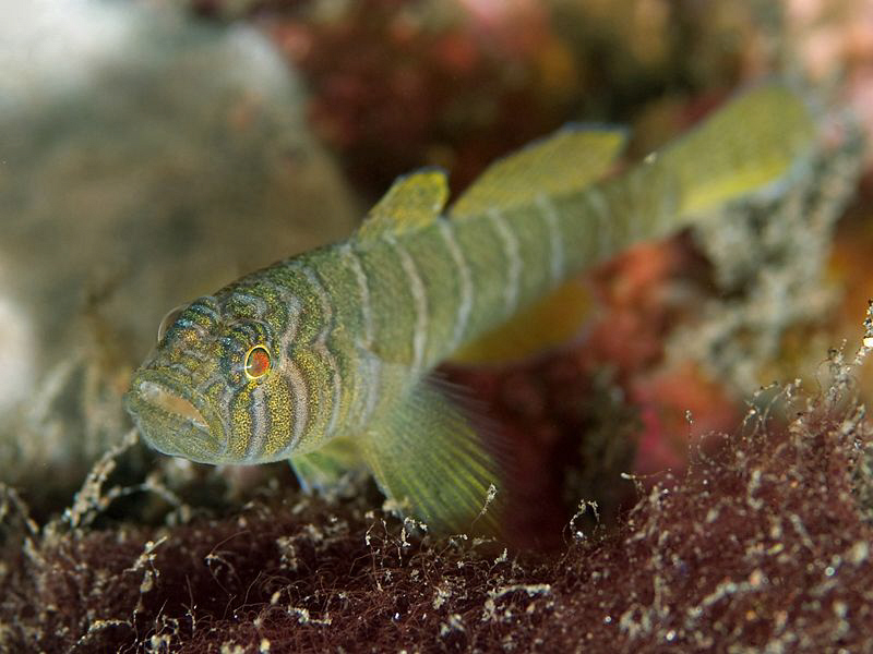 Convict Goby, Tulamben by Doug Anderson