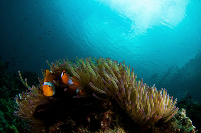 Anemone with fish and snorkeling boat on the surface.  D3... by Richard Witmer