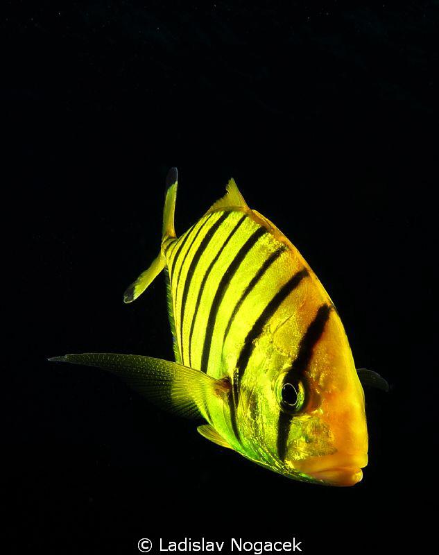 yellow zebra :) by Ladislav Nogacek