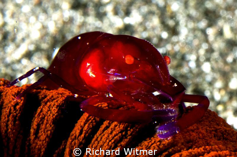 Shrimp on an urchin. by Richard Witmer