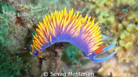 Spanish Shawl Nudibranch at Point Dume, Malibu. by Sevag Mehterian 