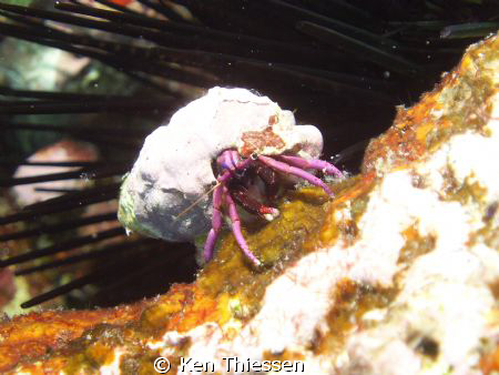 Grumpy little crab by Ken Thiessen