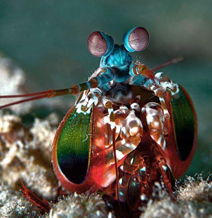The Terminator. Peakcock mantis shrimp taken in Kapalai. ... by Beverly Speed