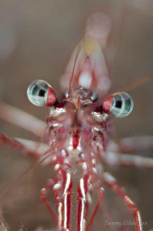 A hingebeak shrimp at Seraya. by Tammy Gibbs