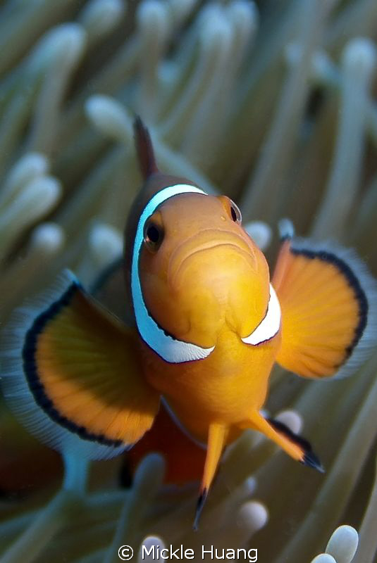 HAPPY NEW YEAR ! Clown anemonefish Orchid Island Taiwan by Mickle Huang