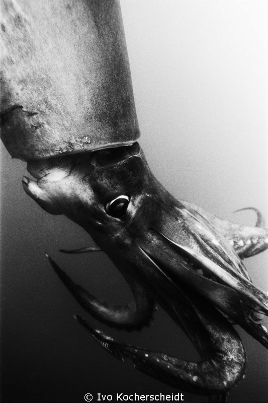 A VERY LARGE HUMBOLDT SQUID PHOTOGRAPHED OF SANTA ROSALIA... by Ivo Kocherscheidt