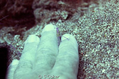 Pedersen' cleaner shrimp giving me a manicure - St Kitts ... by S Coker