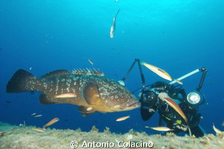 A large grouper (Epinephelus marginatus) marine reserve o... by Antonio Colacino 