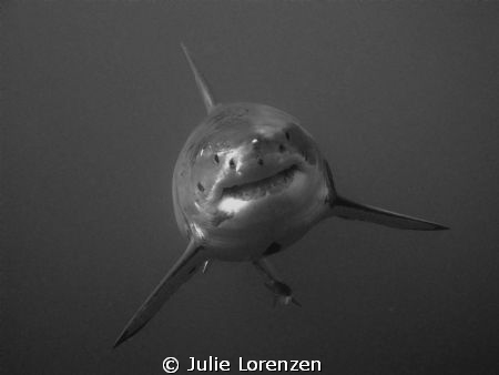 My first time diving with the Great White Sharks.  The ca... by Julie Lorenzen